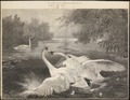 Cygnus olor - 1872 - Print - Iconographia Zoologica - Special Collections University of Amsterdam - UBA01 IZ17600220.tif