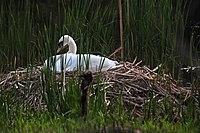 Cygnus olor High Park nesting.jpg