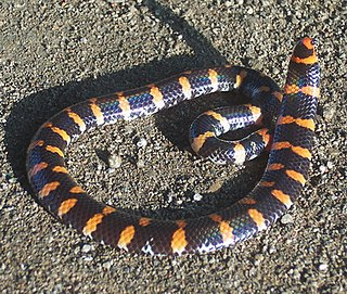<i>Cylindrophis</i> Family of non-venomous snakes