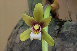 Cymbidiumfinlaysonianum