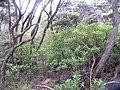 Cymopolia barbata (L.) J.V.Lamour. (AM AK238843-1).jpg