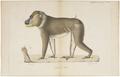 Cynocephalus leucophaeus - 1818-1842 - Print - Iconographia Zoologica - Special Collections University of Amsterdam - UBA01 IZ20100092.tif