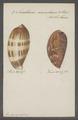 Cypraea spec. - - Print - Iconographia Zoologica - Special Collections University of Amsterdam - UBAINV0274 088 02 0004.tif