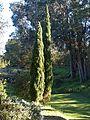 Cypres Pine - Carole Grogloth Molokai Hawaii - panoramio.jpg