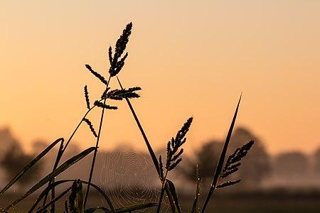 Leaves of grass at Sunrise in the hamlet Börnste, Kirchspiel, Dülmen, North Rhine-Westphalia, Germany