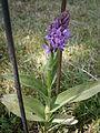 Dactylorhiza sp. flowering 01.JPG