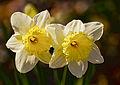 Daffodil twins (Narcissus).jpg