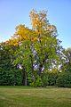 Dahlen Tulpenbaum.jpg