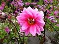 Dahlia hybr. (pink cultivar) 01.jpg