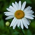 Daisy (19544831049).jpg