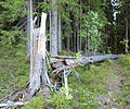 Damaged tree in Jyväskylä.jpg