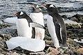Danco Island Antarctica Gentoo Penguins 3 (47284465612).jpg