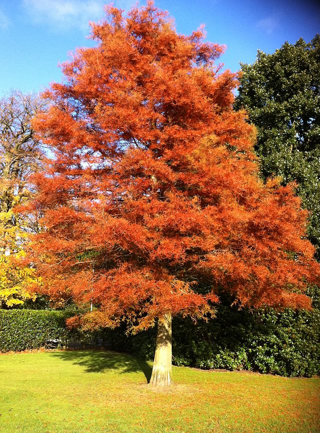 sequoia de Chine en automne