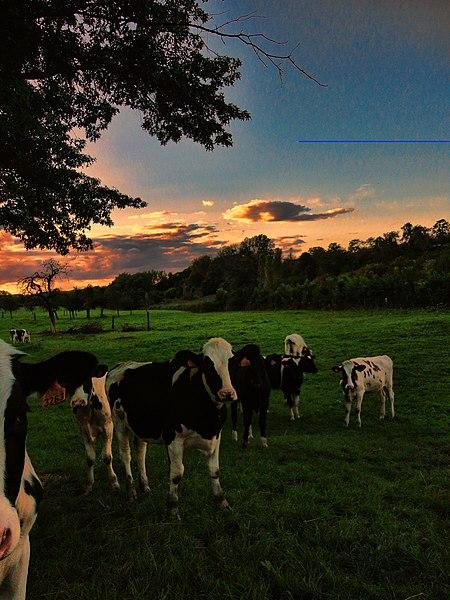 De koeien van Alden Biesen