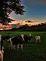 De koeien van Alden Biesen - panoramio.jpg