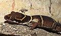 Deccan Banded Gecko Geckoella deccanensis by Dr. Raju Kasambe DSCN8911 (2).jpg