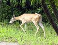 Deer-Tailup.jpg