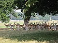 Deer in park at Holkham Hall - geograph.org.uk - 105416.jpg