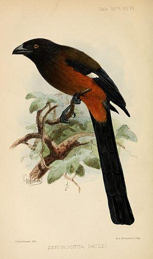 Andaman treepie - Image: Dendrocitta Baylei Ibis
