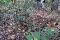 Depression in the ground, Central Catchment Nature Reserve near Sime Road, Singapore - 20130728.JPG