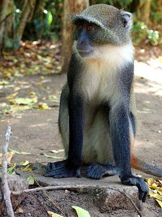 Sykes' monkey - Image: Diademmeerkatze in Gede 1