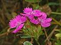 Dianthus balbisii (8303694249).jpg