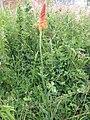 Dichromanthus cinnabarinus planta.jpg