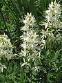 Dictamnus albus - Flickr - peganum (1).jpg