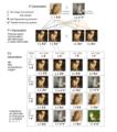 Dihybrider Erbgang - Länge des Fells und Scheckung - Katzen.png