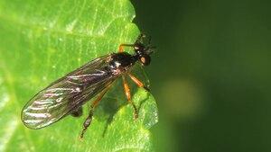 File:Dioctria bicincta - 2013-06-03.webm