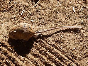 Ord's kangaroo rat - Ord's kangaroo rat