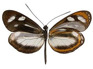 <i>Dismorphia theucharila</i> species of insect