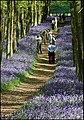 Dockey Wood in Ashridge Common - geograph.org.uk - 1516088.jpg