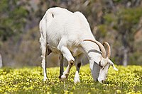 Domestic goat feeding on capeweed.jpg