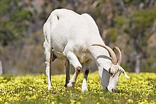 Goat - Wikipedia, the free encyclopedia