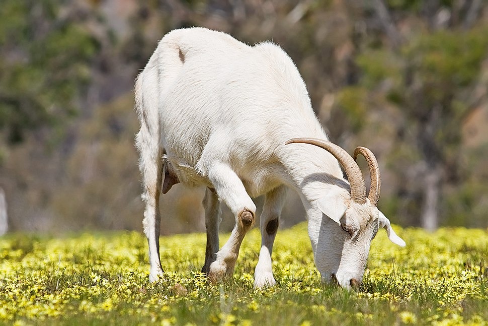 Domestic goat feeding on capeweed