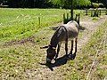 Donkey @ Saint-Jorioz (50488587737).jpg