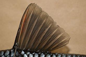 Fish fin - Dorsal fin of a chub (Leuciscus cephalus)
