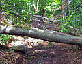 Downed trees on Peekamoose-Table Trail after Hurricane Irene.jpg