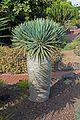 Dracaena cinnabari - Jardín Botánico Canario Viera y Clavijo - Gran Canaria.jpg