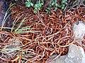 Dracophyllum traversii fallen leaves.jpg