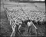 Drafting Sheep (4903282465).jpg