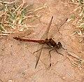Dragonfly Common Darter 1 (6058826249).jpg