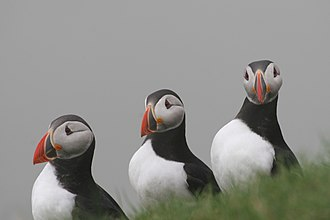 Atlantic puffins are very common and a part of the local cuisine: Faroese puffin. Dreierprofil.jpg