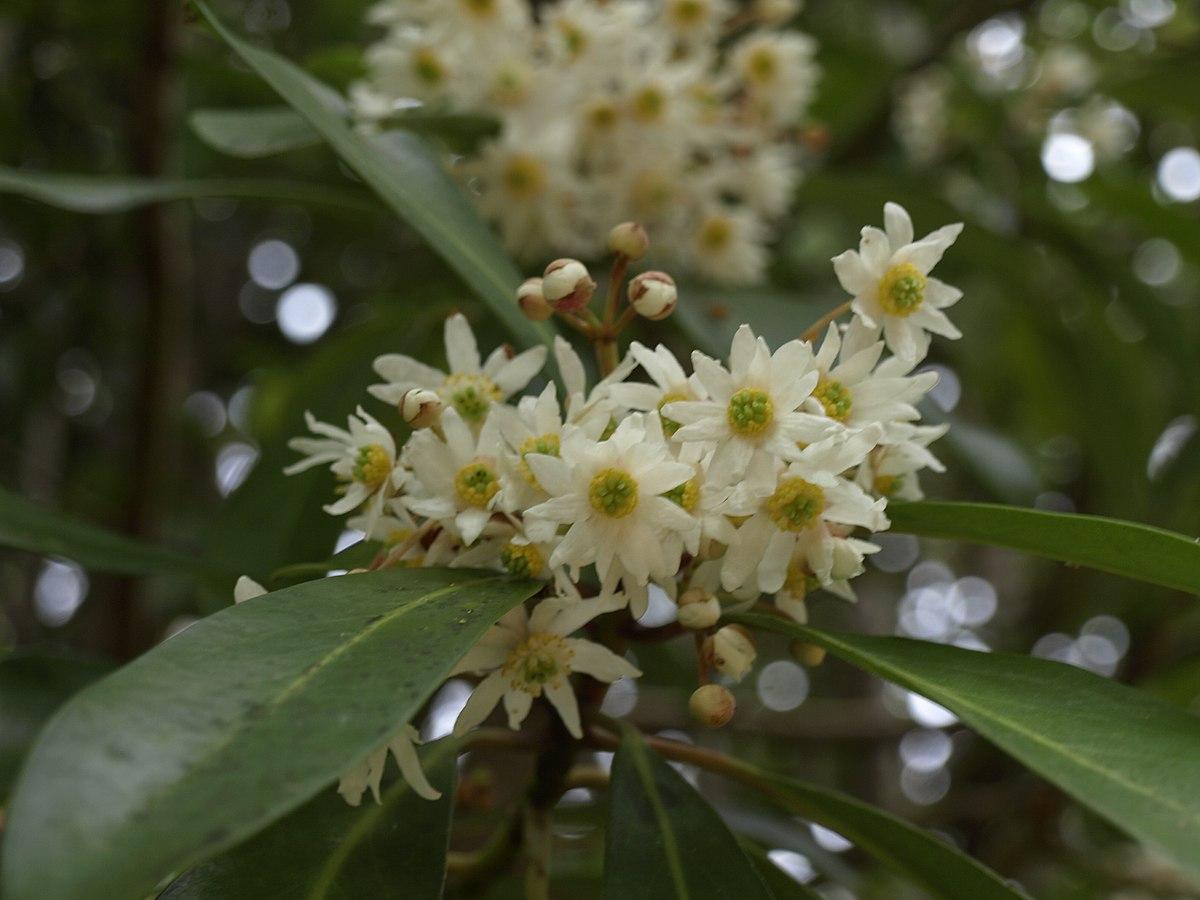 Winteraceae Wikispecies
