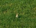Drozd pevač (Turdus philomelos ) Song Thrush.jpg