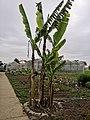 Drvo babane u Poljoprivrednoj skoli u Svilajncu.jpg