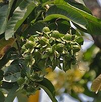 Duabanga sonneratioides syn Duabanga grandiflora at Jayanti, Duars, West Bengal W Picture 218