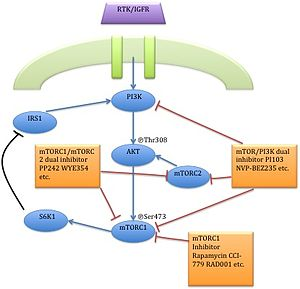 MTOR inhibitors - Action point of first and second generation mTOR inhibitors on PI3K/AKT/mTOR pathway