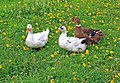 Ducks, Ausmas ecological farm, Ergemes, Latvia.JPG